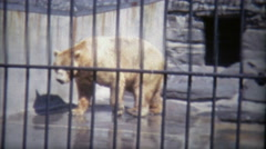 1973: Grizzly bears just chillin in zoo home. Stock Footage