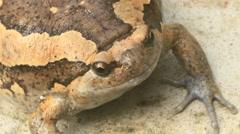 Brown frog croaking on a leaf macro close up Stock Footage