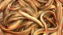 Eel in the water Stock Footage