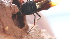 HD footage close up of Hymenoptera Stock Footage