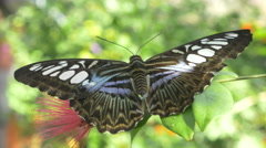 4K super close up of large beautiful butterfly SDOF Stock Footage