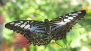 Stock Video Footage of 4K super close up of large beautiful butterfly SDOF