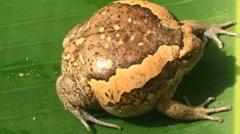 Strange fat bloated bullfrog on leaf Stock Footage