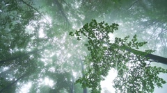 spectacular movement to the crown of tall trees surrounded by fog and sunligh - stock footage