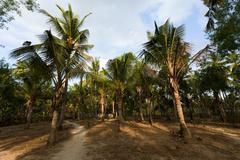 Coco-palm tree forrest, Bali, Nusa Penida, Indonesia Stock Photos