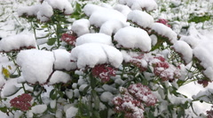 Pink flowers with snow 2 Stock Footage