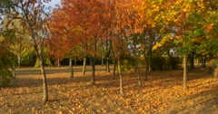 Park Panorama Zoom In Yellow Trees in The Fall Autumn Red and Yellow Leaves on - stock footage