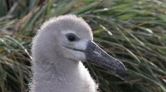 Black browed Albatross from Antarctica Stock Footage