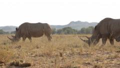 White rhino bull, cow and calf walking Stock Footage