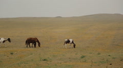 Wild Horses Graze different breeds in the steppe field alone, without human Stock Footage