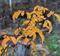Autumn branch of Rose odorata of with bright yellow-orange leaves. Stock Photos