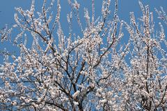 The blossoming apricot tree as background. Stock Photos
