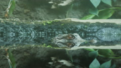 Dangerous Caiman Cenote Closeup Hand Held Above and Under Water Stock Footage