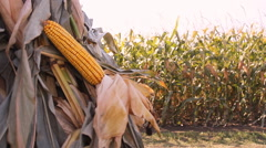 Holding a corn in the stash ,Corn Field  Stock Footage