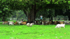 An wide shot of a shepherd grazing sheep in the heart of a city. Stock Footage