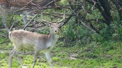 Deer walking In The Woods of Slovenia. Stock Footage
