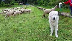 Maremma Sheepdog Stock Footage