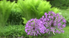 Purple allium flower with bee gather nectar. closeup shot. 4K Stock Footage