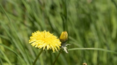 Close up of a yellow dandelion flower Stock Footage