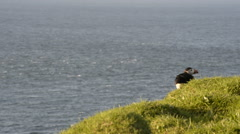 Puffins on the Faroe Islands Stock Footage