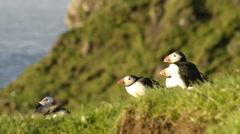 Puffins on the Faroe Islands with landscape and water Stock Footage