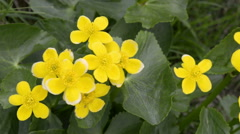 Caltha palustris or marsh-marigold - stock footage