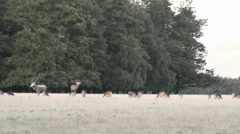 Red deer, Cervus elaphus Stock Footage