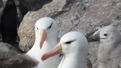 Black browed Albatross Stock Footage