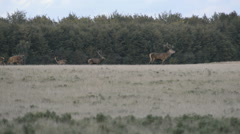 Red deer, Cervus elaphus roaring during the mating season in autumn Stock Footage