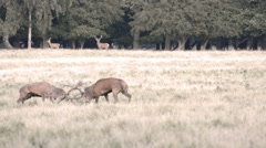 Two male red deer, Cervus elaphus - stock footage