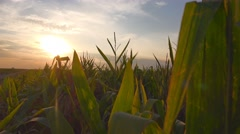 Sunrise at cultivated corn field Stock Footage