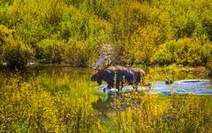 Moose in the Conundrum Creek Colorado Stock Photos