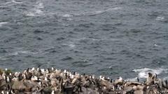 Black browed Albatross colony Stock Footage