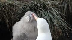 Stock Video Footage of Black browed Albatross Courtship