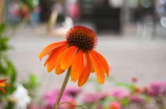 orange echinacea Cheyenne spirit in urban park - stock photo
