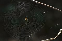European garden spider Araneus diadematus in its web Lower Saxony Germany Europe Stock Photos