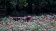 Stock Video Footage of Red Deer Rutting