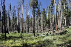 Trees damaged by forest fire near Wawona Point Mariposa Grove Yosemite National Stock Photos
