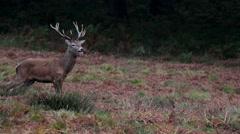 Red Deer Stag Head - stock footage