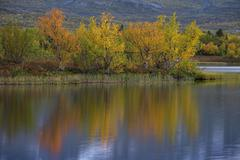 Reflection of autumnal dwarf birch Betula nana Abisko National Park Norrbotten - stock photo