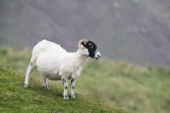 Sheep in the rain Isle of Islay Inner Hebrides Scotland United Kingdom Europe Stock Photos