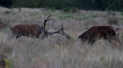 Red Deer Rutting Stock Footage