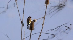 Goldfinch (Carduelis) colorful little bird feeding with thistle seeds (Dipsacus) Stock Footage