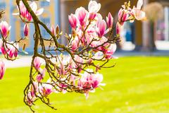 Magnolia flowers. Blooming magnolia tree in the spring Stock Photos