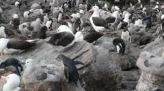 Black browed Albatross and rockhopper penguins Stock Footage