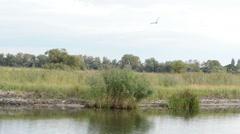 Stock Video Footage of flying Grey heron (Ardea cinerea)