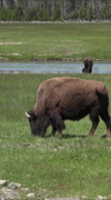 Bison herd meadow near river in Yellowstone vertical HD Stock Footage