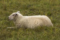 Flock of sheep on pasture Stock Photos