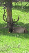 Stock Video Footage of Bull Elk large antlers resting in shade pine tree vertical HD