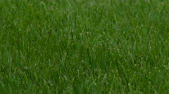 Green lawn in strong winds. Blades of grass move intensely. Stock Footage